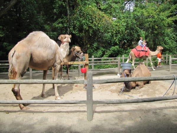 bronx-zoo-camel-rides