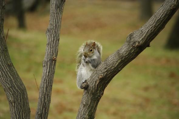 Une photo d'un habitant de Central Park prise lors de notre premier séjour à NY (25/12/10) - La belette