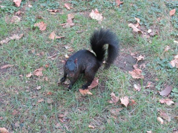Un écureuil noir - Pascal - Aout 2012