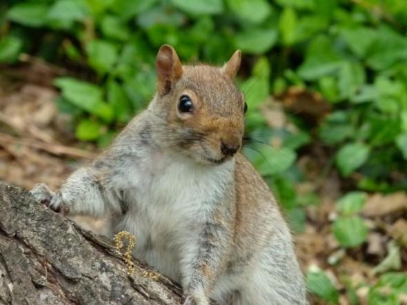 Mon nom est Camille CORCUFF Central park Mi-est, 18 Avril 2012. Pour une petite anecdote, j'ai pleins de photo de cet écureuil car (je peux passer pour une folle pour le reste du message mais bon..) quand j'ai pris la photo, il s'est amusé à poser ! On était un groupe, et j'étais à l'arrière et quand il sont revenus me chercher, il est parti ! Je leur ai donc dis de repartir car je le prenais en photo, et l'écureuil est revenu ! :)