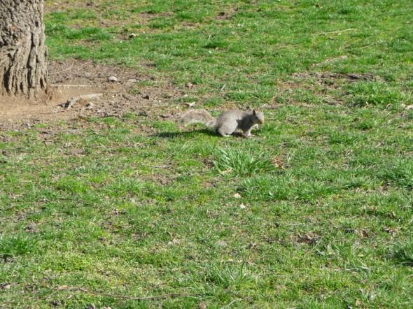 Quelques photos d'écureuil prises à Central Park le dimanche 7 avril (il y a une semaine tout juste) - François