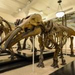 dinosaure-American-Museum-Natural-History-3