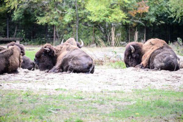bison-zoo-bronx-nyc