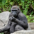 congo-gorilla-forrest-zoo-bronx-nyc-2