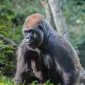 congo-gorilla-forrest-zoo-bronx-nyc-3