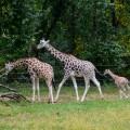 girafes-zoo-bronx-nyc