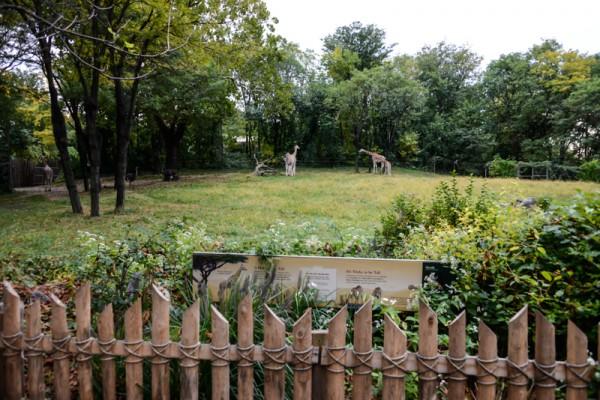 girafes-zoo-bronx-nyc-2