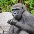 gorille-zoo-bronx-nyc