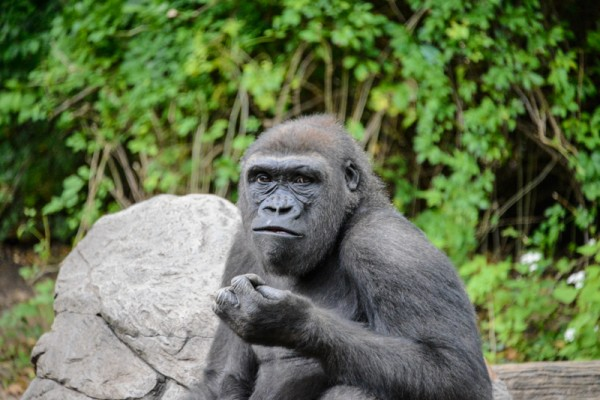 gorille-zoo-bronx-nyc-2