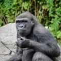 gorille-zoo-bronx-nyc-3