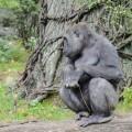 gorille-zoo-bronx-nyc-4