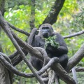 gorille-zoo-bronx-nyc-5