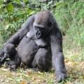 gorille-zoo-bronx-nyc-6