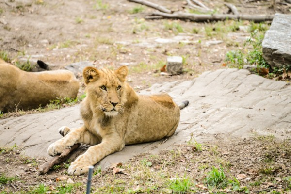 lion-zoo-bronx-nyc-2
