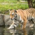 tigre-zoo-bronx-nyc-10