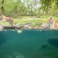 tigre-zoo-bronx-nyc-11