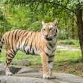 tigre-zoo-bronx-nyc-13