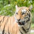 tigre-zoo-bronx-nyc-14