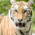 tigre-zoo-bronx-nyc-15