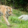 tigre-zoo-bronx-nyc-4