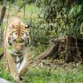 tigre-zoo-bronx-nyc-5
