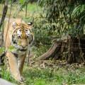 tigre-zoo-bronx-nyc-6