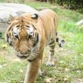 tigre-zoo-bronx-nyc-7