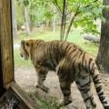 tigre-zoo-bronx-nyc-8