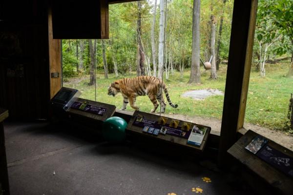 tigre-zoo-bronx-nyc-9