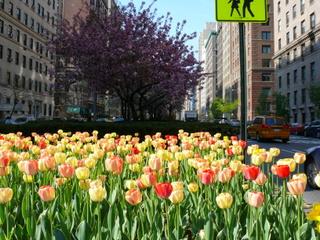 tulipes-new-York